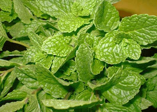 Mint is a rather effective remedy in curing flu and the bites of insect.