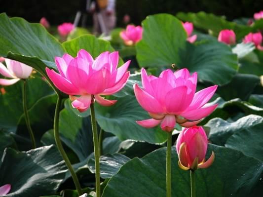 Lotus grows in water.