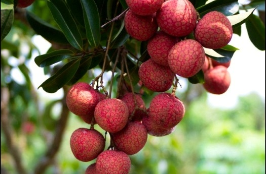 When litchi is lighted by sunlight, it especially likes the sunlight in the East.