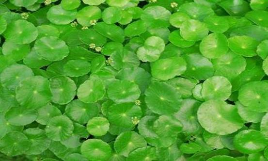 Pennywort not only is nutritious but also makes you become more beautiful.