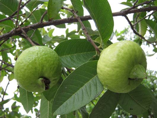Guava can treat constipation.