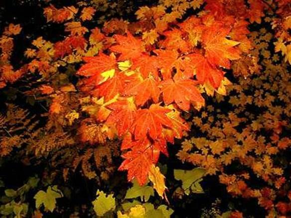 Acer circinatum (vine maple)