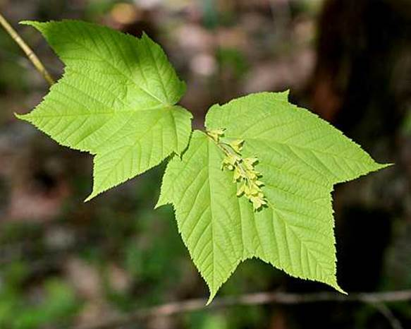 Acer pensylvanicum (striped or snakebark maple)