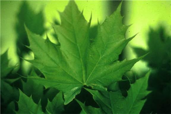 Acer platanoides 'Globosum' (globe Norway maple)