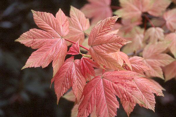 Acer pseudoplatanus 'Brilliantissimum' (Brilliantissimum sycamore maple)