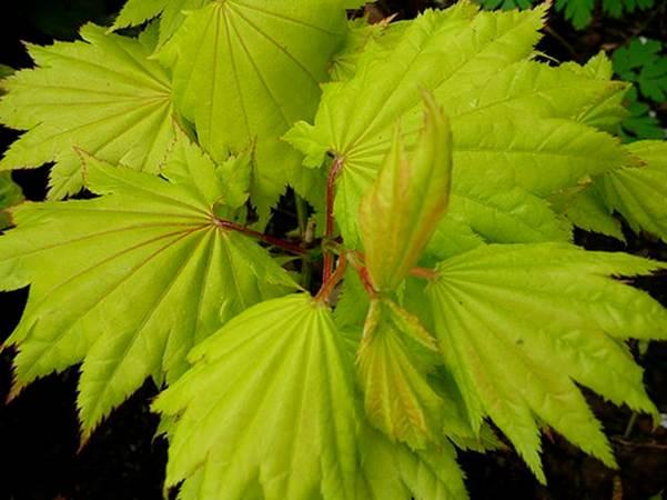 Acer shirasawanum 'Aureum' (golden full moon maple)