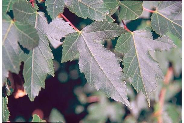 Acer tataricum subsp. Ginnala (Amur maple)