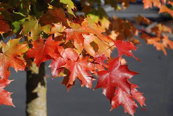 Acer truncatum 'Keithsform' (Norwegian sunset maple)