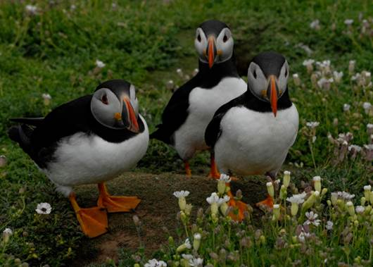 The main draw to Skomer in the summer months is the charismatic Puffin