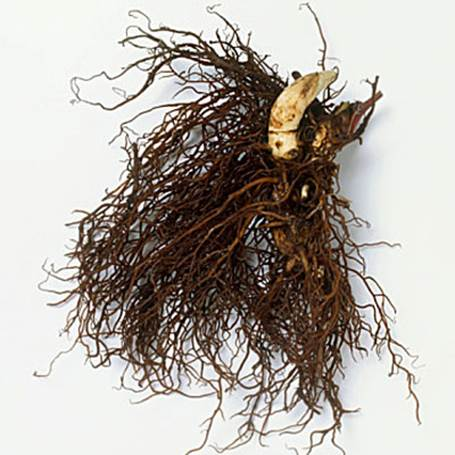 Description: The part used is the dried roots, which are available in pills at the pharmacies